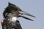 Giant kingfisher (Megaceryle maximus), Chobe National Park, Botswana.