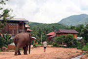 9 June 2009 - Botene, Laos - Mahouts travel with their elephants to see the vets from ElefantAsia. ElefantAsia is a Laos based NGO set-up by two frenchmen working to save the Laos elephant. Two frenchmen Sebastien Duffillot and Gilles Maurer founded ElefantAsia in 2001, who's President is Dr Norin Chai, senior veterinarian at the French National Museum of Natural History, with the aim of saving the rapidly dimishing elephant numbers in Laos..Much of their work is conducted in the remote Sayaboury Province of Laos, a region home to 75% of the nation's domesticated elephant population and one of Laos' largest remaining wild elephant populations. With the traditional mahout culture still alive and active in Sayaboury, ElefantAsia strives to achieve a balance between wildlife utilization and effective species conservation and breeding. Photo credit: Luke Duggleby