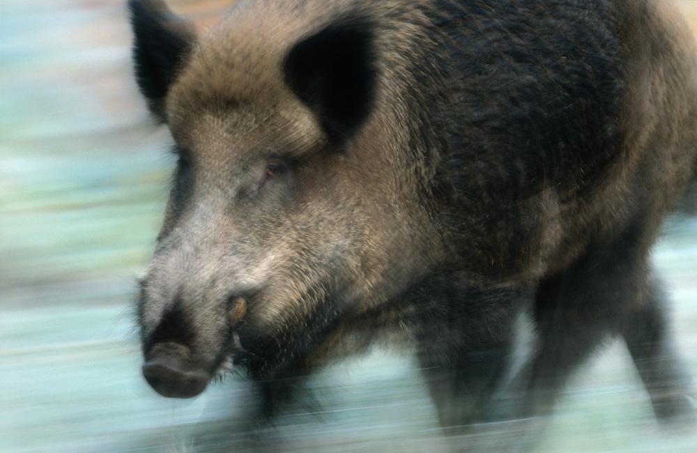 Wild boar, Sus scrofa.