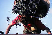 grape harvest, France