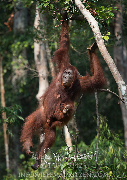 A female adult Bornean orangutan with an infant clinging to it, swings through the forests of Tanjug Puting National Park in Indonesia.