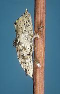Pteromalus puparum - wasp - parasitising pupa of Large White