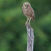 Burrowing Owl (Athene cunicularia), Punta Rusia, Dominican Republic.