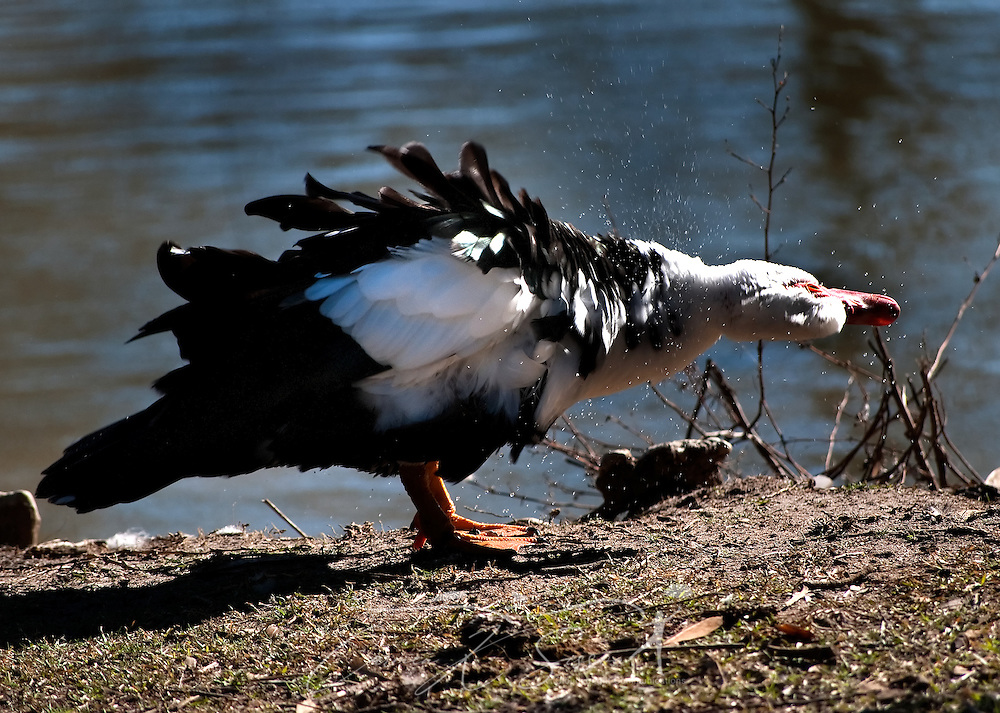 A duck shakes to dry its feathers beside the pond at Highland Park in Meridian, Miss. on Jan. 12, 2011. A wide variety of birds and waterfowl populate the park, making it a favorite destination for avian hobbyists. (Photo by Carmen K. Sisson/Cloudybright)