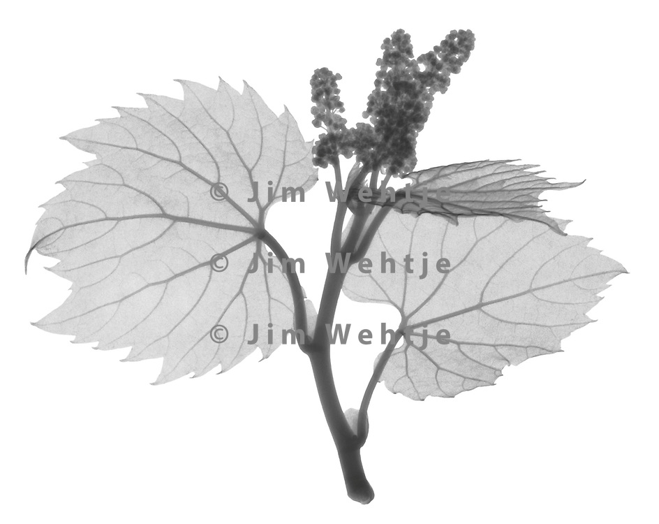 X-ray image of a baby wild grape vine (Vitis sylvestris, black on white) by Jim Wehtje, specialist in x-ray art and design images.