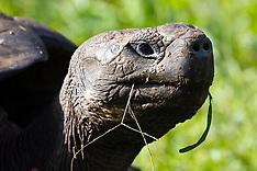 Galápagos giant tortoise (Chelonoidis nigra porteri)
