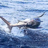 Atlantic Sailfish displays impressive acrobatics offshore Lobito, Angola