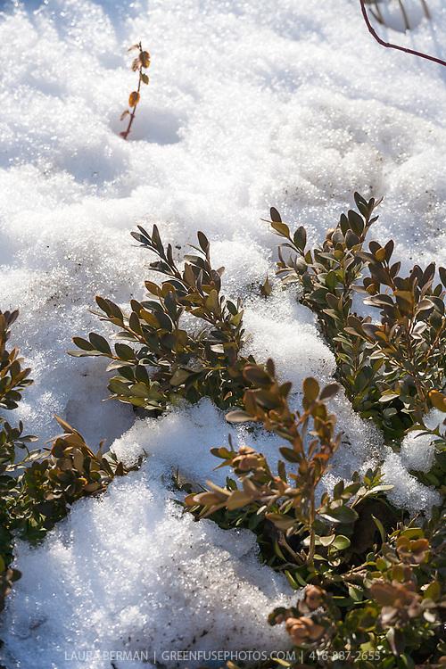 Snow on Boxwood, a broadleaf evergreen shrub.