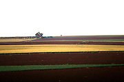 Green and yellow Meadows with a lone tree, , Galilee, Israel