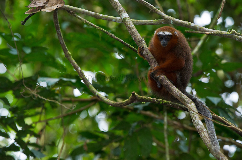 Red Titi Monkey (Callicebus discolor)<br /> Yasuni National Park, Amazon Rainforest<br /> ECUADOR. South America<br /> HABITAT &amp; RANGE: Range of forest types from Colombia, Ecuador and Peru.