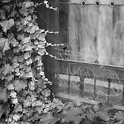 Stained glass chapel window covered with ivy vines, black and white.