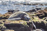 A Pacific green sea turtle sleeps on shore. Ka'u, Hawaii.