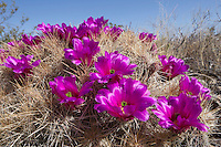 Stawberry Cactus, (Echinocereus stramineus var. stramineus), Big Bend National Park, Texas