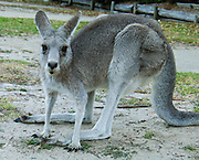 The Eastern Grey Kangaroo (Macropus giganteus, which means gigantic large-foot) roams freely at Halls Gap Lakeside Caravan Park, surrounded by Grampians National Park, Victoria, Australia. This large kangaroo, also known as the Great Grey Kangaroo or Forester, has a soft grey coat, and is usually found in moister, more fertile areas than the Red Kangaroo. Indigenous Australian names include iyirrbir and kucha. The Eastern Grey Kangaroos live in open grassland and bushland near the major cities of the south and east coast of Australia, and are much more commonly seen than the Reds, which live in the Outback. Like all kangaroos, it is mainly nocturnal and crepuscular, mostly seen at dawn or dusk.