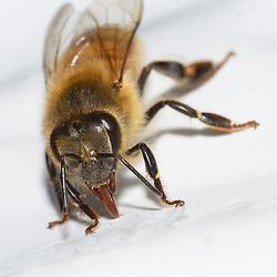 NZ Honey Bee