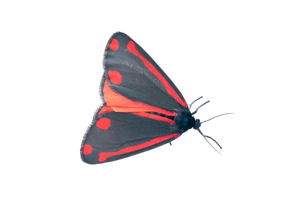 Cinnabar moth in the field studio, Scotland