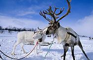Samis (lap people). in Kautokeino  Lapland  Norway        Les Samis (lapons); ? Kautokeino   Laponie,   Norvege       L004790  /  R00330  /  P111352 rennes raindeer