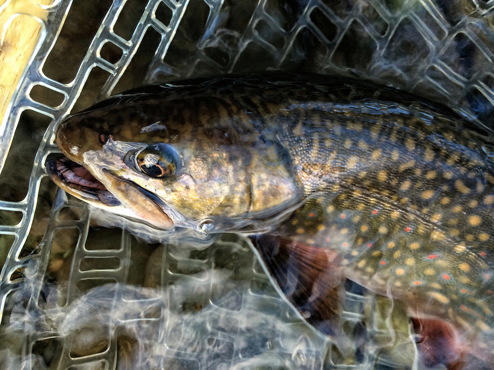 A 3-pound brook trout pulled out of hiding in from the floodwaters of the East Outlet of Moosehead Lake, Maine. Released live.