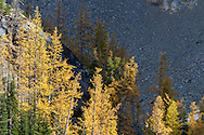 Subalpine Larch (Larix lyalli) Fall needles are lit up by sunlight next to Blue Lake - in the North Cascades of the Okanogan-Wenatchee National Forest in Washington State, USA.