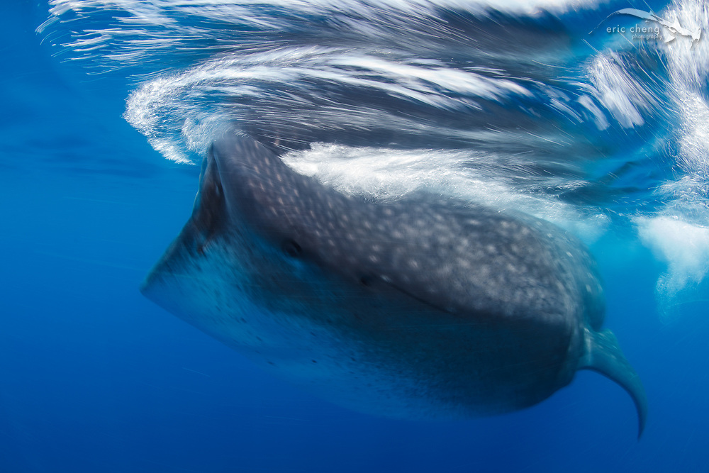 A whale shark (Rhincodon typus) feeds at the surface during a whale shark aggregation off the coast of Isla Mujeres, Mexico