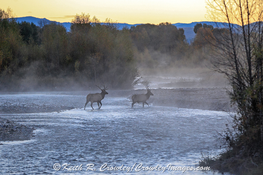 Two young bull elk cross a river in early morning mist.