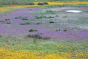 California vernal pool - goldfields -yellow, downingia - blue
