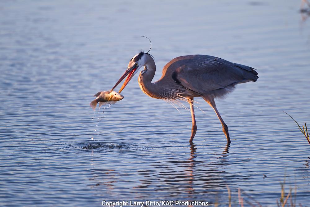 Great Blue Heron (Ardea herodias) spearing fish