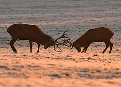 © Licensed to London News Pictures. 02/12/2012. Richmond, UK Deer fight on hard frosty ground in the early morning mist and sunshine. . Deer, joggers and dog walkers wake up to a golden frosty morning in Richmond Park, Surrey, today 2nd December 2012. Photo credit : Stephen Simpson/LNP