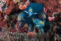 "Yellow Mask Surgeonfish congregate at a cleaning station.<br /> <br /> Shot at Cape Kri, Raja Ampat Islands, W. Papua Province, Indonesia<br /> <br /> Cape Kri is one of the ""fishiest"" dives in the world.  Given its protection in the Raja Ampat Marine Protected Area, as well as its proximity to a resort that does a great job of ""policing"" the adjacent areas, this reef is among the healthiest in the Coral Triangle."
