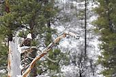 Wildlife: Bald Eagle, Idaho