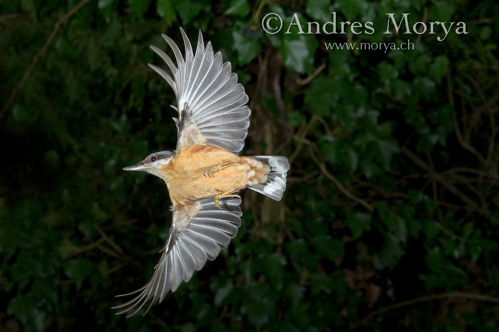 Eurasian Nuthatch (Sitta europaea) in flight, Switzerland Bird in Flight, Switzerland. High Speed Photographic Technique Image by Andres Morya
