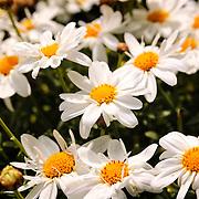 Summerflowers in Stavanger, Rogaland, Norway.