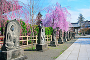 Gojunoto Temple located in Hirosaki northern Japan. It is spring time and surrounded with beautiful cherry blossoms and buddhist statues.