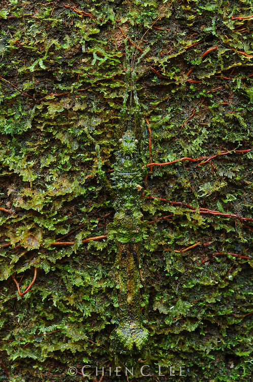 A master of camouflage, this stick insect (Neoclides laceratus) blends perfectly with a mossy piece of wood. Sarawak, Malaysia.