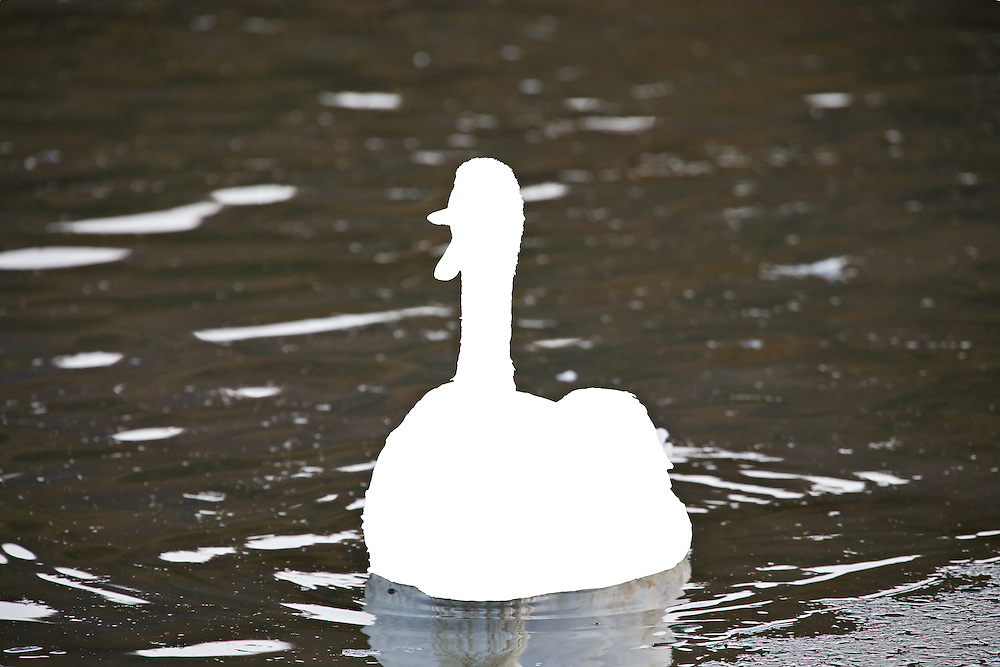 A Trumpeter Swan honking at Potter Marsh, Turnagain Arm, Anchorage in Southcentral Alaska. Fall. Morning.