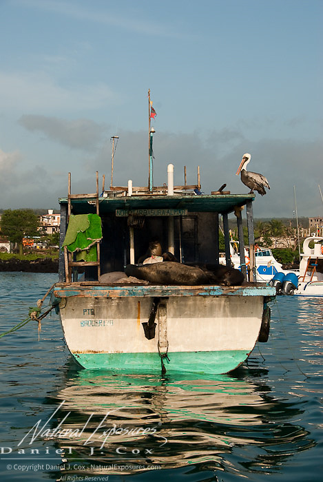 A group of Galapagos Sea Lions (Zalophus californianus) and a Brown Pelican (Pelacanus occidentalis) relax on an empty boat. Galapagos, Ecuador.