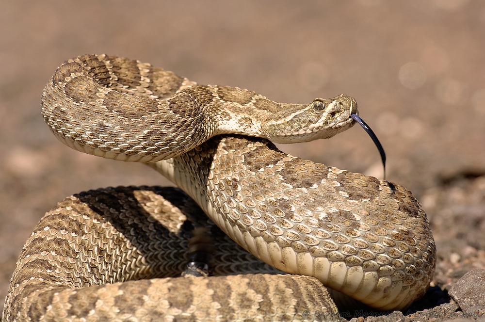Western Prairie Rattlesnake [Crotalus viridis] defensive posture; Cimarron National Grassland, Kansas