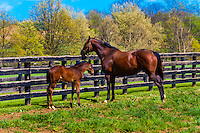 Thoroughbred mares and foals, Winstar Farm, Versailles (Lexington), Kentucky USA.