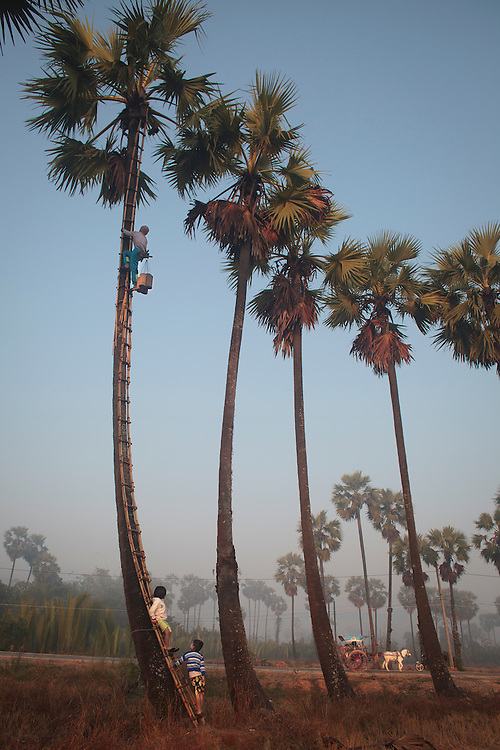 Palm tree farmers work early in the morning to get the salvia to after that boil the liquid to transform in a kind of beer or in some cases in sugar at Ka Myaw Gyi in the outskirts of Dawei, Myanmar on Sunday, 26, Jan. 2014.