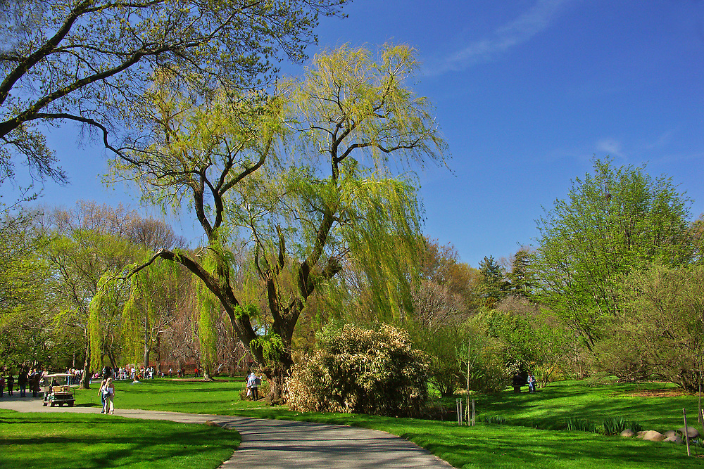 The giant weeping willow tree in very early Spring.