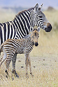 Plains Zebra<br /> Equus burchelli<br /> Mother and newborn foal (less than 3 days old)<br /> Masai Mara Triangle, Kenya