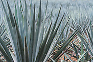 Agave fields adjacent to the production facility of the artesenal tequila distillery Mayapan in Valladolid, Mexico.