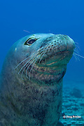 Hawaiian monk seal, Monachus schauinslandi, male ( critically endangered species ), Lehua Rock, near Niihau, off Kauai, Hawaiian Islands, USA( Central Pacific Ocean )
