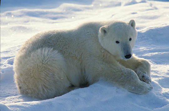 Polar Bear, (Ursus maritimus) Portrait of sub adult resting. Churchill, Manitoba. Canada.