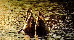 Cygnets feeding in a pond<br /> <br /> (c) Andrew Wilson | Edinburgh Elite media