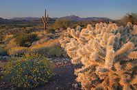 Jumping Cholla or Chain Fruit Cholla (Cylindropuntia fulgida) glowing in the light of the setting sun, Superstition Mountains Arizona