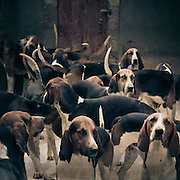 Group of hounds in a kennel