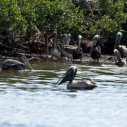 A oil soaked Brown Pelican is seen in the water near other pelicans on Cat Island off the coast of Louisiana on Thursday, June 17 2010. Oil from the Deepwater Horizon spill continues to impact areas across the coast of gulf states.