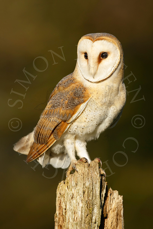 Barn Owl (Tyto Alba) adult perched on old post, South Norfolk, UK. February.