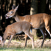 White-tailed Deer, doe and fawn at the edge of a woods, Rifle Camp Park; Garret Mountain, New Jersey